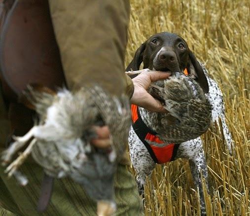 Seisovien koirien työskentelyä peltopyyjahdissa on ilo seurata